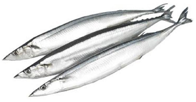 PACIFIC SAURY