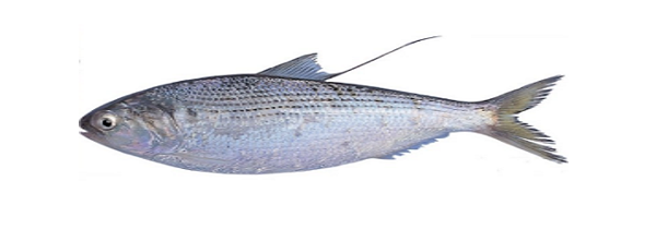 DOTTED  GIZZARD SHAD